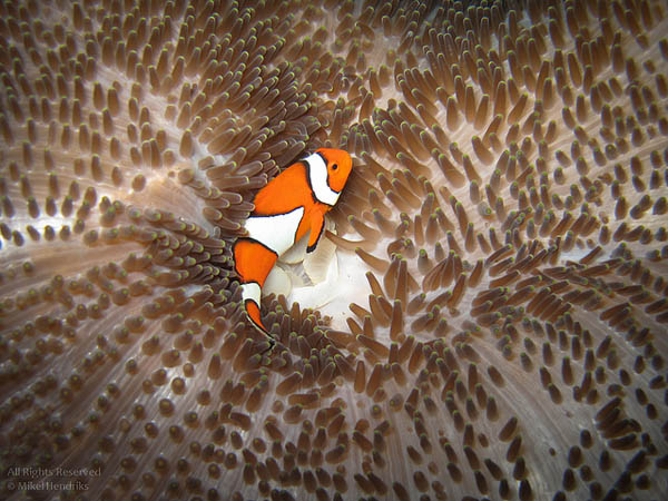 Clownfish on an Anemone Carpet_21