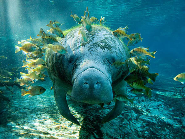 Manatee and Fish_25