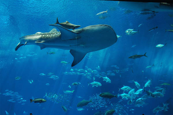 Whale Sharks are coming_19