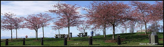 Panoramic Cherry Blossoms Garry Point S0802e by Harris Hui