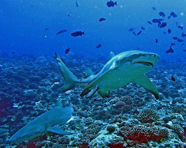 diving with the sharks_23