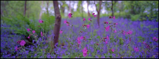 Campion and Bluebell Wood - The Lost Gardens Of Heligan, Cornwall  by john lunt
